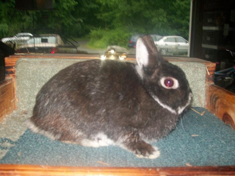 Quality Bunnies - Netherland Dwarf